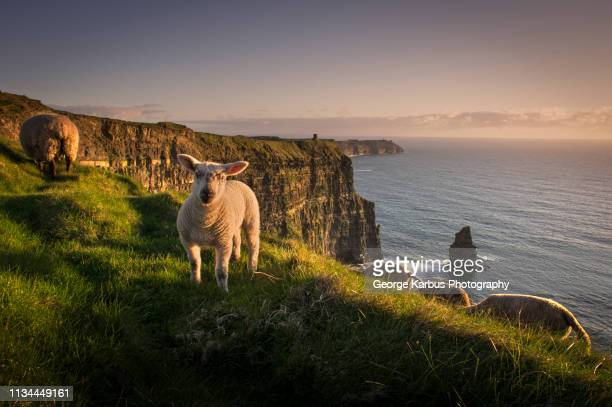 sheep on cliffs of moher, liscannor, ireland - irlanda fotografías e imágenes de stock