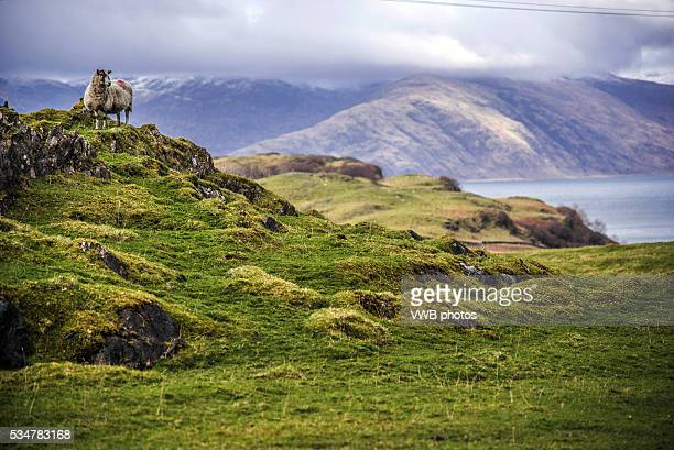 Sheep on crag, with views Westward from the Island of Lismore towards the Morvern Peninsula