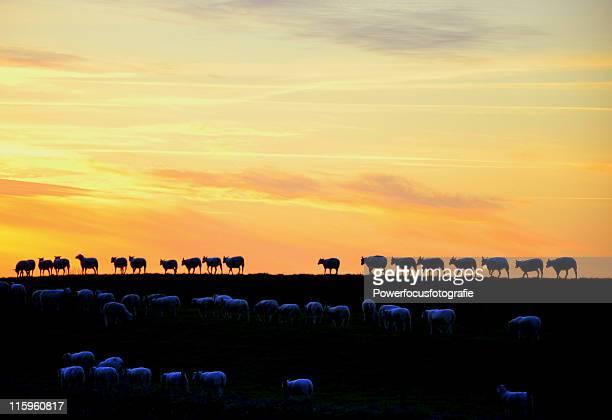 sheep on dyke - groningen stockfoto's en -beelden