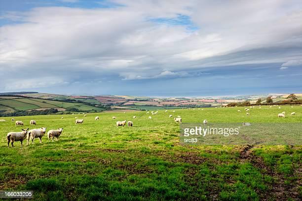 sheep on exmoor in autumn - exmoor national park 個照片及圖片檔