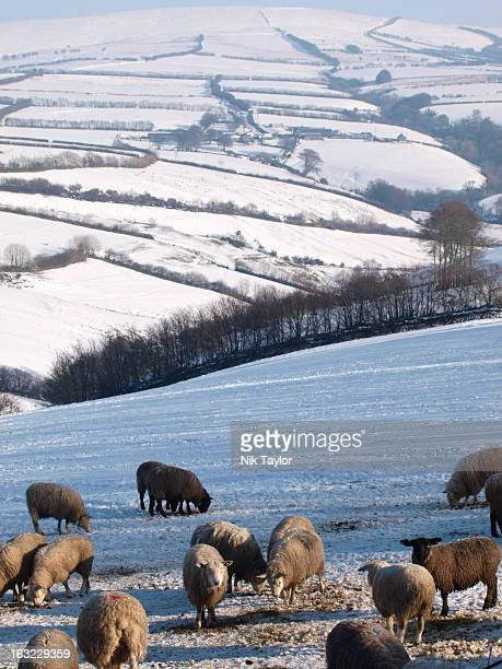 sheep on exmoor - exmoor national park stock pictures, royalty-free photos & images