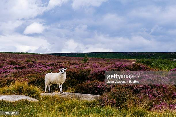 sheep on field against sky - one animal stock photos and pictures