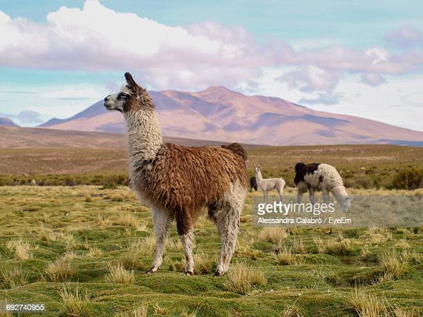 sheep on field against sky - lama stock pictures, royalty-free photos & images