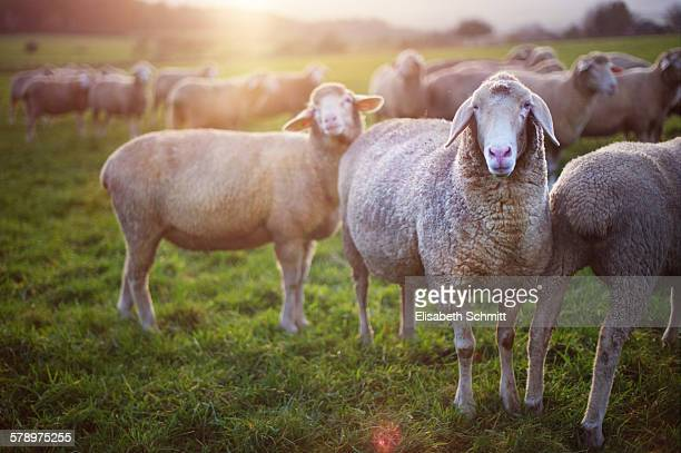 Sheep on field at sunset