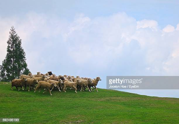 sheep on grassy field against cloudy sky - flock of sheep stock photos and pictures