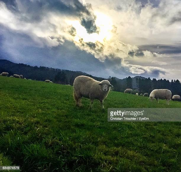 Sheep On Grassy Field Against Cloudy Sky
