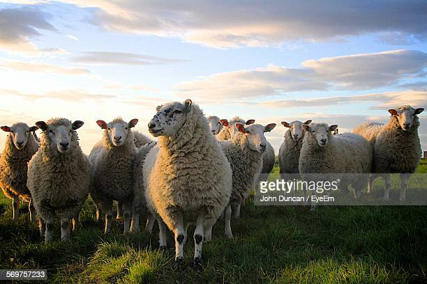 sheep on grassy field against sky - livestock stock pictures, royalty-free photos & images
