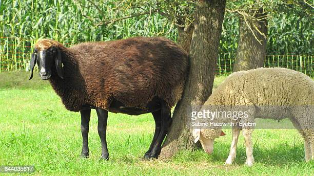 Sheep On Grassy Field By Trees