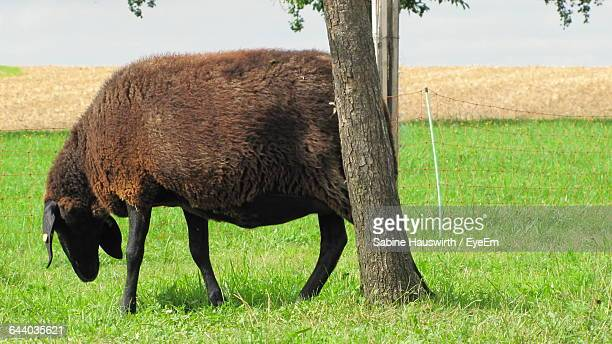 sheep on grassy field by trees - sabine hauswirth stock pictures, royalty-free photos & images