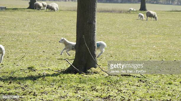 sheep on grassy field - barr stock pictures, royalty-free photos & images