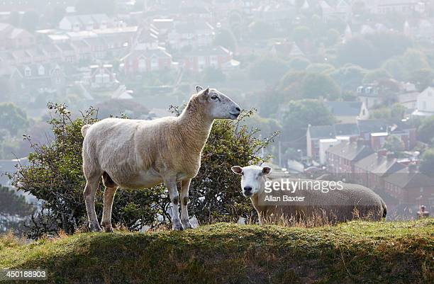 sheep on hillside with town - ilfracombe stock photos and pictures