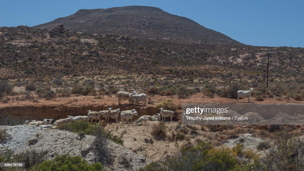 Sheep On Landscape Against Mountains : Stock Photo
