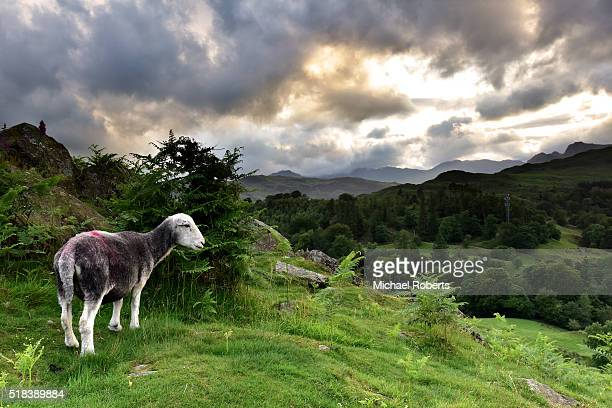 Sheep on Loughrigg Terrace at sunset above Grasmere in the Lake District