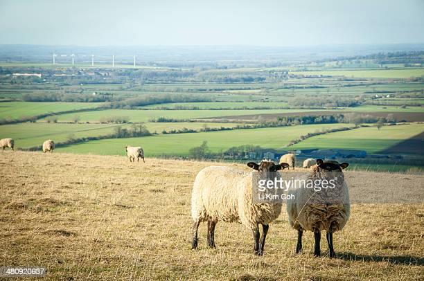 sheep on meadow hill - アフィントンの白馬 ストックフォトと画像