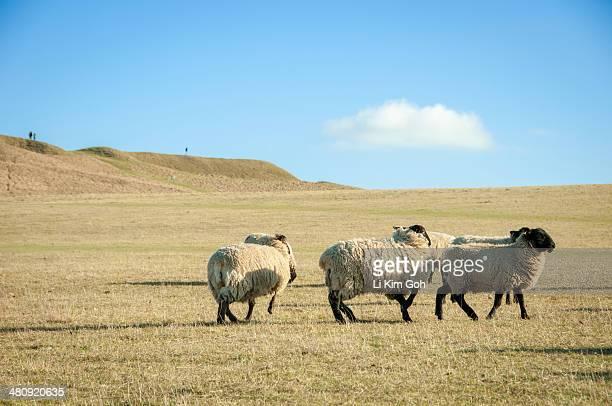 sheep on meadow hill, uffington, uk - アフィントンの白馬 ストックフォトと画像