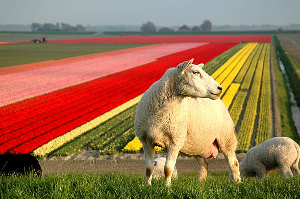 Sheep on North Sea dyke and tulip fields