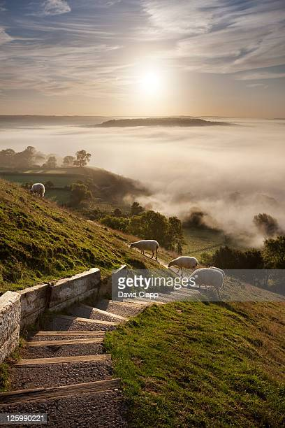 sheep on pathway at glastonbury tor with view over misty somerset levels, england, uk - september stock pictures, royalty-free photos & images