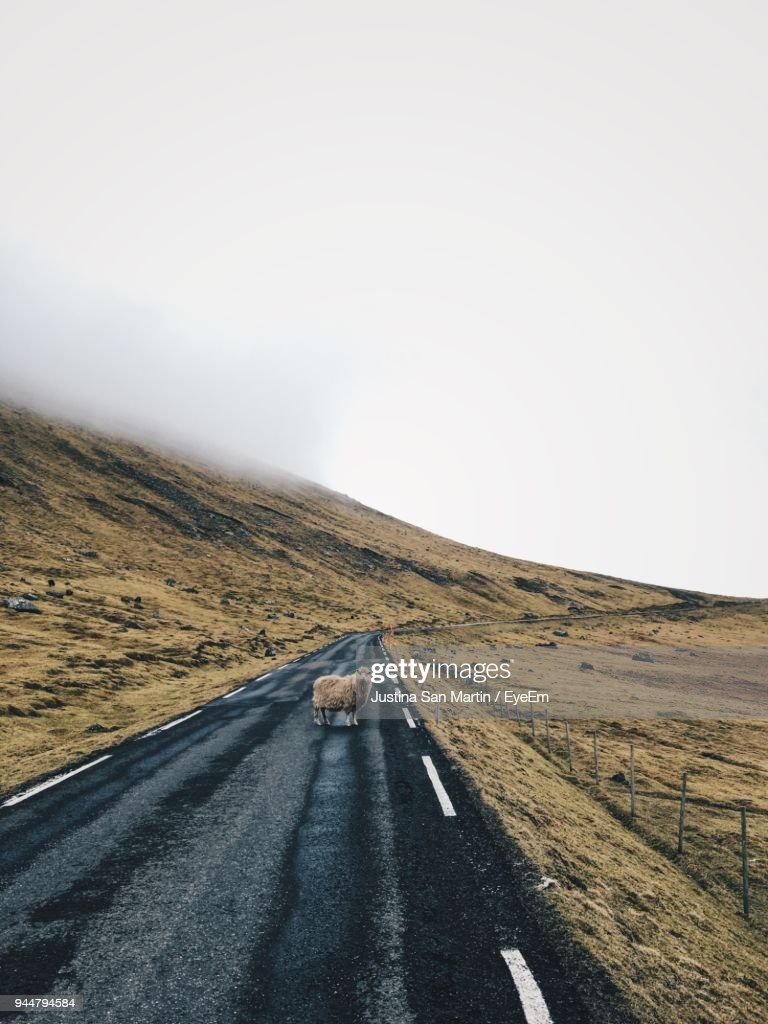 Sheep On Road Against Clear Sky : Stock Photo