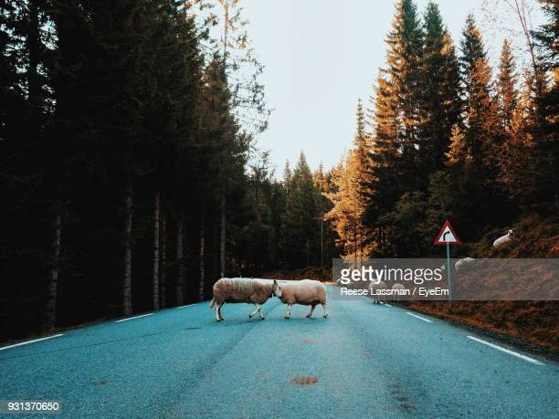 Sheep On Road In Forest During Autumn