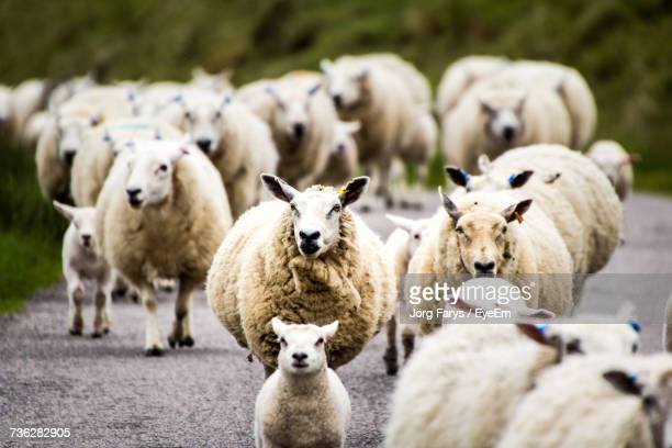 sheep on road - lamb animal stock photos and pictures