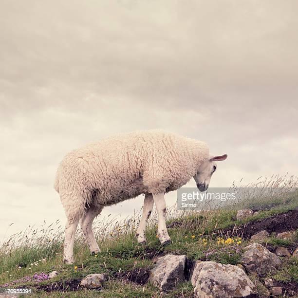 Sheep on rocky outcrop