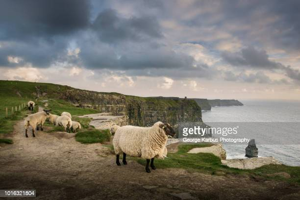 sheep on rural pathway, cliffs of moher, doolin, clare, ireland - republic of ireland stock pictures, royalty-free photos & images