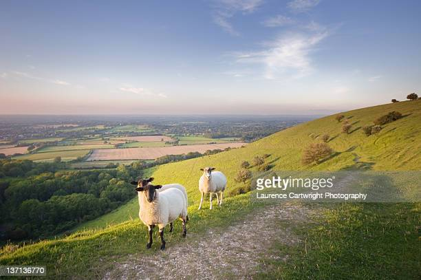 Sheep on south downs