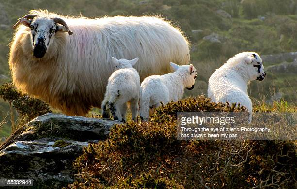 sheep on the conor pass - conor stock pictures, royalty-free photos & images
