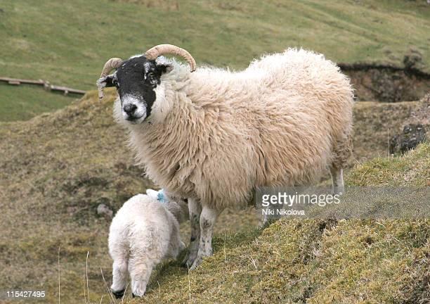 Sheep on the Isle of Skye during The Isle of Skye - April 24, 2006 in Isle of Skye, Great Britain.