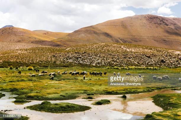 schafe auf der wiese in der wüste von atacama - hochplateau stock-fotos und bilder