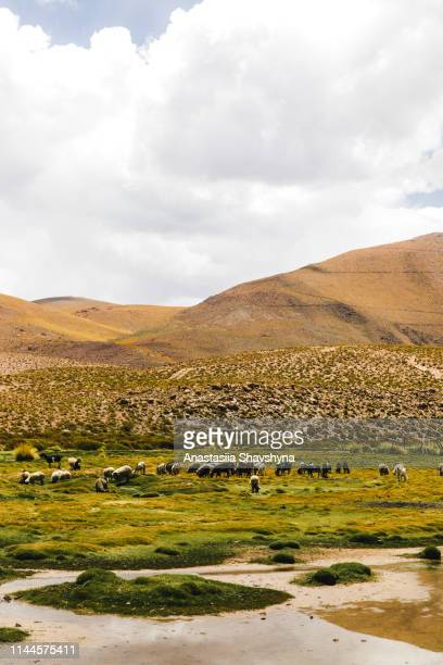 sheep on the meadow in atacama desert - altiplano stock pictures, royalty-free photos & images