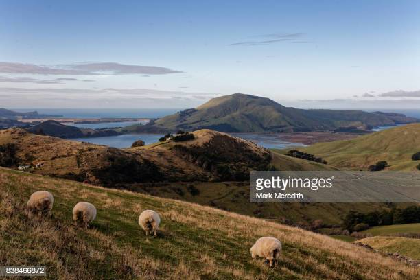 sheep on the otago peninsula, new zealand - península fotografías e imágenes de stock