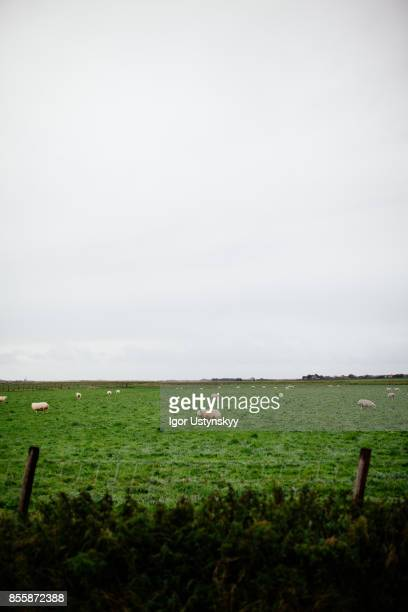 Sheep on the pasture in Netherlands