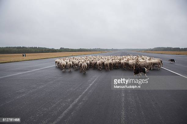 sheep on the runway