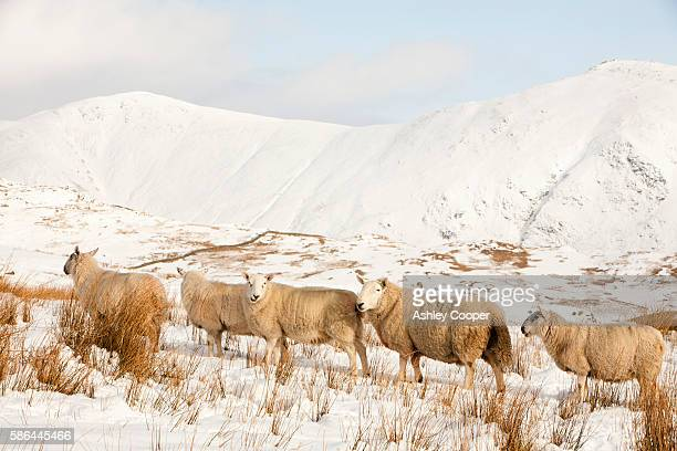 Sheep on Wansfell above Ambleside in the Lake District, UK, looking towards the Kentmere fells.