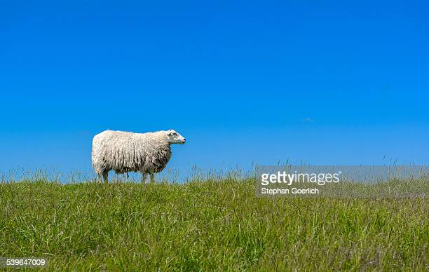 Sheep -Ovis orientalis aries- standing on a dike, near Archsum, Sylt, Schleswig-Holstein, Germany