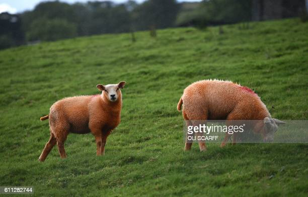 Sheep painted orange that belong to farmer Pip Simpson graze on a hillside in Troutbeck in the Lake District northern England on September 29 2016...