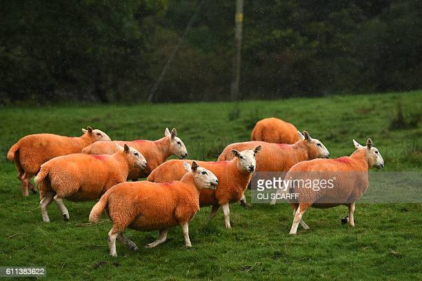 TOPSHOT Sheep painted orange that belong to farmer Pip Simpson graze on a hillside in Troutbeck in the Lake District northern England on September 29...