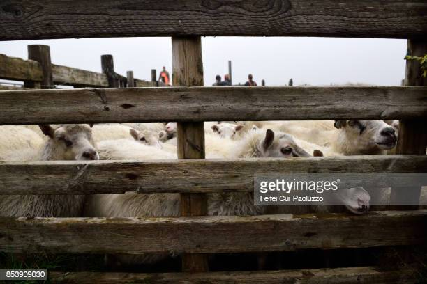 sheep pen and sheep at alftaver, south coast iceland - icelandic sheep stock photos and pictures