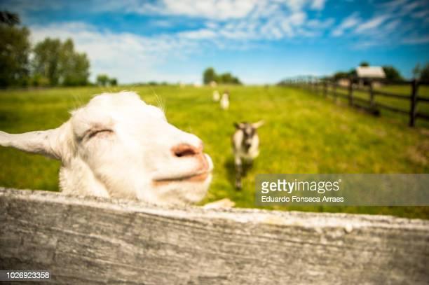 sheep - nutztier stock-fotos und bilder