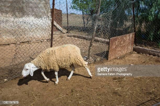 sheep - um animal - fotografias e filmes do acervo