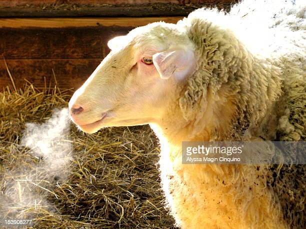 sheep - chatham new york state stock pictures, royalty-free photos & images
