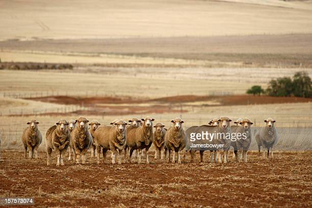 sheep - drought stock pictures, royalty-free photos & images