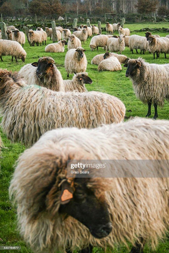 Sheep : Foto stock
