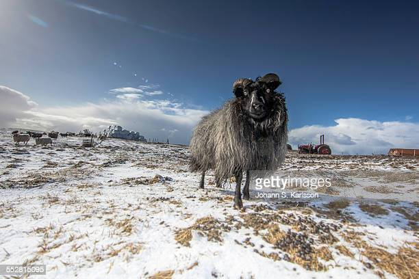sheep - icelandic sheep stock photos and pictures