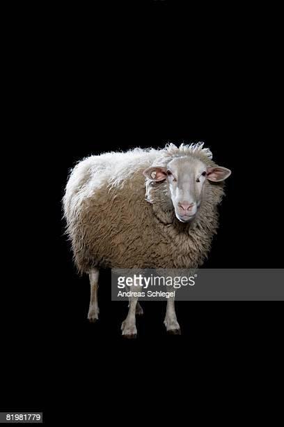 a sheep - schaf stock-fotos und bilder