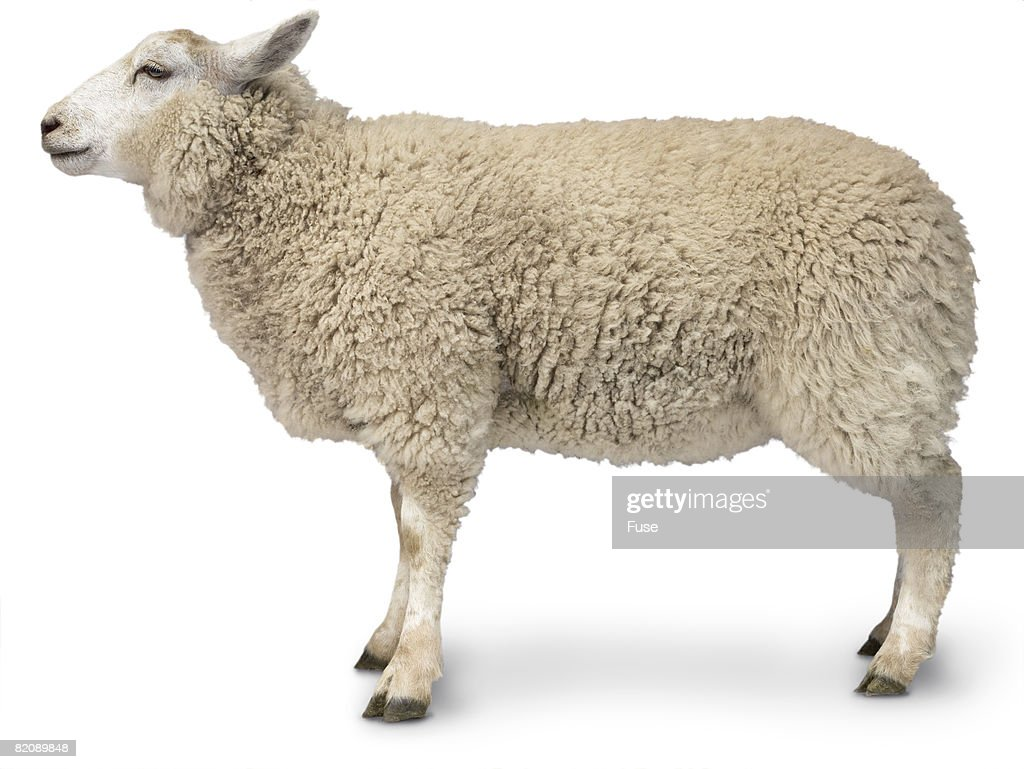 sheep stock photos and pictures getty images