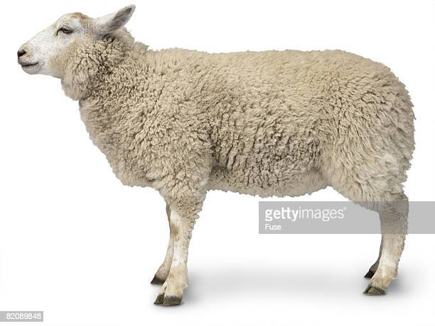 sheep - sheep stock pictures, royalty-free photos & images