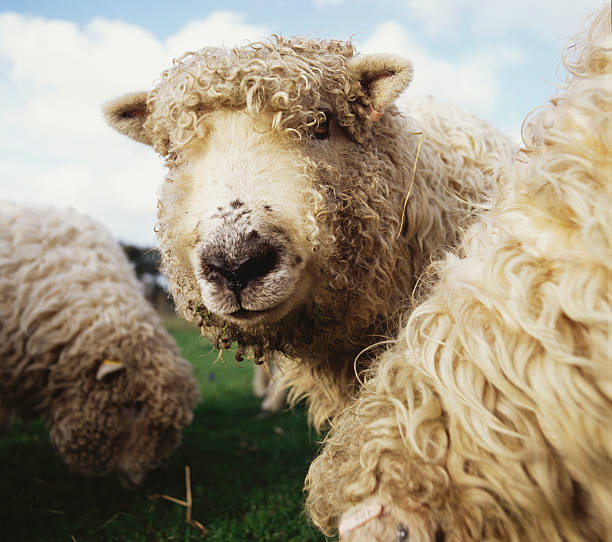 Sheep Wall Art