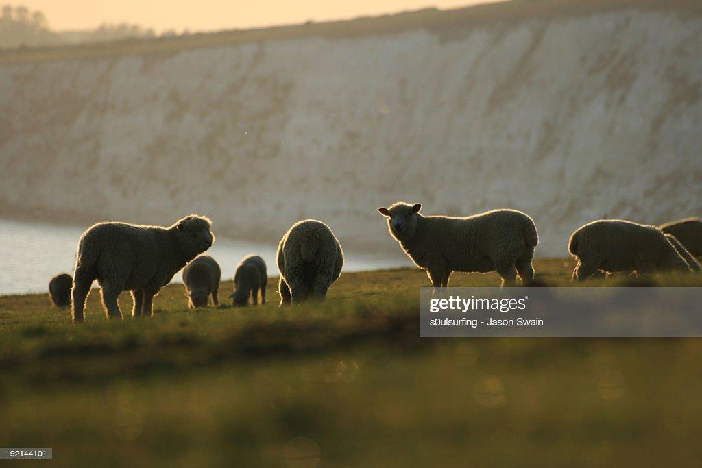 Sheep : Stock Photo